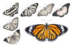 Orange butterflies on white background. Close up of orange butterfly Common Tiger isolated on white background with clipping path, among other desaturated orange royalty free stock photography