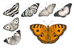 Orange butterflies on white background. Close up of orange butterfly Peacock Pansy isolated on white background with clipping path, among other desaturated stock images