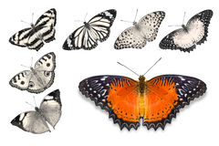 Orange butterflies on white background. Close up of orange butterfly Red Lacewing isolated on white background with clipping path, among other desaturated orange royalty free stock photography