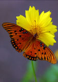 Orange butterfly. On yellow flower Stock Photos