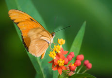 Orange Butterfly. Beautiful Orange Butterfly drinking nectar from flowers royalty free stock images