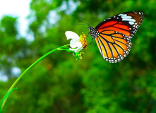 Orange Butterfly. Beautiful orange butterfly rest on a white flower royalty free stock photo