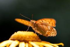 Orange butterfly Stock Photos