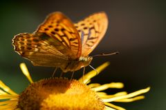 Orange butterfly. On a flower Royalty Free Stock Images