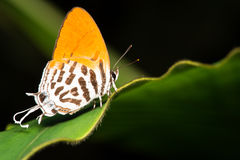 Orange Butterfly. On a leaf with black background stock photos