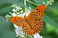 Orange butterfly. On white flowers stock images