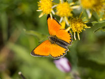 Orange Butterfly. Resting on a yellow flower stock photography