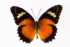 Orange butterfly Stock Image