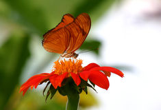 Orange butterfly. On a red flower feeding during the morning hours stock photography