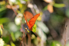 Orange butterfly against green backgound Royalty Free Stock Photos