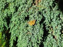 Orange butterfly Aglais Urticae on the cypress tree macro photo.  Stock Photos