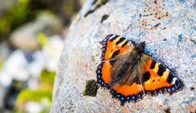 Orange butterfly on a rock. Orange butterfly Aglais urticae on a rock royalty free stock photography