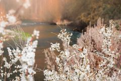 Orange butterfly and almond tree with white blooming flowers at riverside landscape. Orange peacock butterfly and almond tree with white blooming flowers at royalty free stock photos