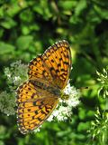 Orange butterfly on beautiful flower, Lithuania Royalty Free Stock Image