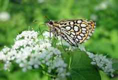 Orange butterfly on beautiful flower, Lithuania Stock Images