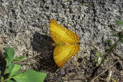 Orange butterfly with beautiful patterns on the rocks.  royalty free stock image