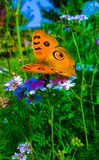 Orange butterfly . Beautifully in the bush . An orange butterfly resting in the green hedge  on a colorful flower stock photos