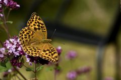 Orange butterfly. An orange butterfly with black dots royalty free stock images