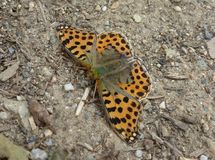 Orange Butterfly with Black Dots. Photo of an orange butterfly with black dots Royalty Free Stock Image