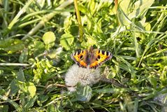 Orange butterfly on a blooming dandelion stock images