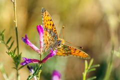 Orange butterfly with black spots sitting on a flower royalty free stock photos