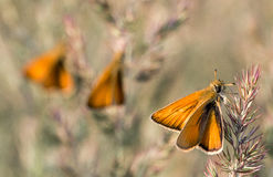 Orange Butterfly on a Blade. Background with Two other Butterflies stock photo