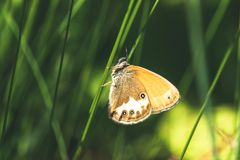 Orange butterfly on the blade of grass. Beautiful moth the pearly heath coenonympha arcania sitting on the green grass in summer forest stock image