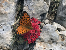 Orange butterfly on bloody flower. Homesickness orange blossom and Butterfly Royalty Free Stock Image