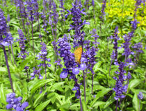 Orange butterfly on blooming flower in lavender field Stock Photography