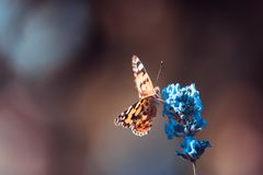 Orange butterfly on blue flowers on an blur background. Orange small butterfly on blue flowers on an blur background royalty free stock image