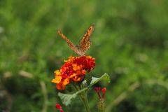 Orange butterfly on bright red and yellow flower Royalty Free Stock Images