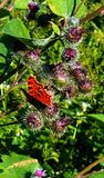 Orange butterfly on the burdock royalty free stock photography