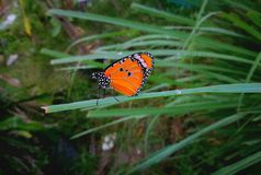 Orange Butterfly. Orange butterflies are perched on the Crimean basket Stock Image