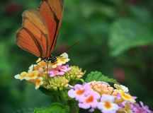 Orange Butterfly. Butterfly Drawing Nectar from flower Royalty Free Stock Photography