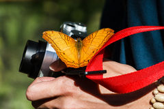 Orange Butterfly on Camera at KuangSi Butterfly Park. Luang Prabang, Laos Stock Photography