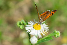 The orange butterfly on a chamomile flower Stock Photography