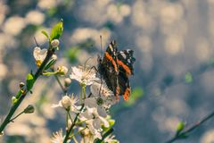 Orange butterfly. And cherry blossoms royalty free stock photo