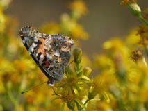 Orange Butterfly. In Comacchio Lagoons, Po Delta National Park, Italy royalty free stock image