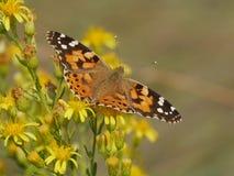Orange Butterfly. In Comacchio Lagoons, Po Delta National Park, Italy stock photo