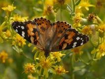 Orange Butterfly. In Comacchio Lagoons, Po Delta National Park, Italy royalty free stock photos