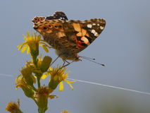 Orange Butterfly. In Comacchio Lagoons, Po Delta National Park, Italy stock photography