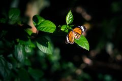 Orange butterfly in the darkness of forest. Orange butterfly in the darkness of jungles lit by the spot of sunlight sits on a leaf of a hibiscus branch stock photos