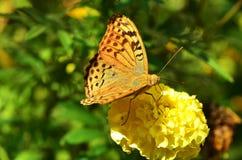 Orange butterfly drinking flower nectar Stock Photo