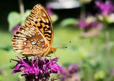 Orange Butterfly. Drinking nectar from purple bee balm royalty free stock photo