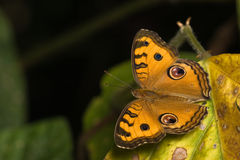 Orange Butterfly on dry leaf Stock Image