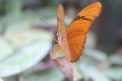 Butterfly Facing Forward. Orange butterfly facing outward with its wings partially opened royalty free stock photo
