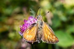 Orange butterfly in family Hesperiidae - European skipper - closeup stock images