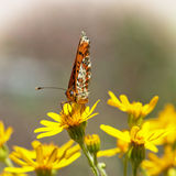 Orange butterfly feeding in flowers Royalty Free Stock Image