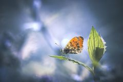 Orange butterfly on leaf. Orange butterfly feeding a leaf with blue background royalty free stock images