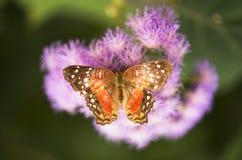 Orange butterfly. A orange butterfly on a flower royalty free stock image